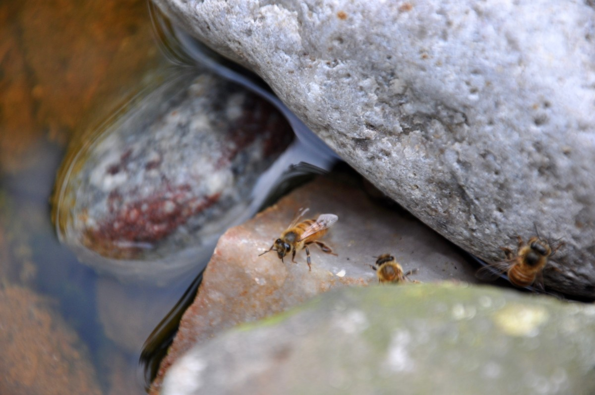 Honey bees drinking